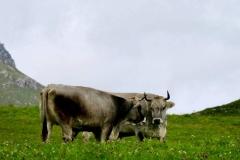 Hier weiden Kühe auf smaragd-grünen Wiesen.